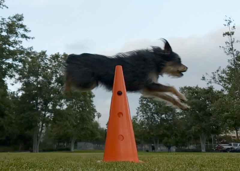 Canine Fitness Training_Linus Jumping
