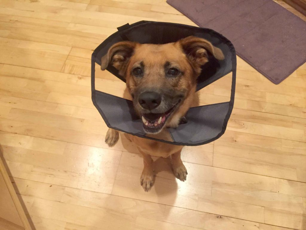 Dog in Cone of Shame After Cancer Diagnosis