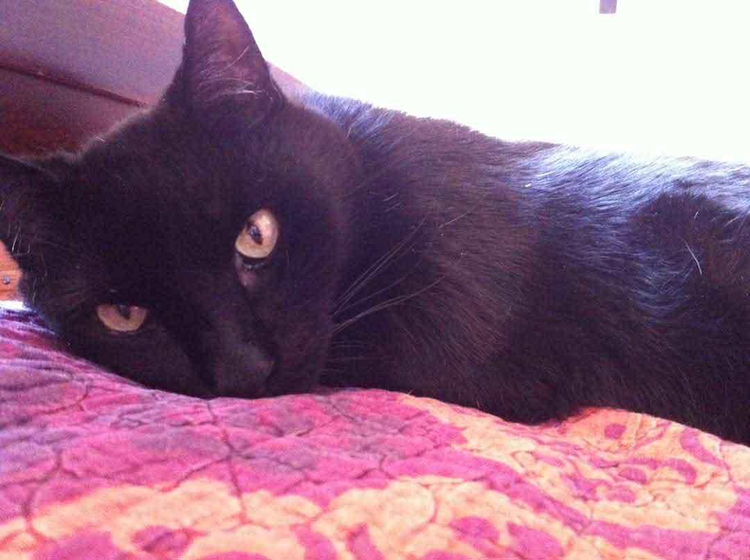 zorro, a black cat